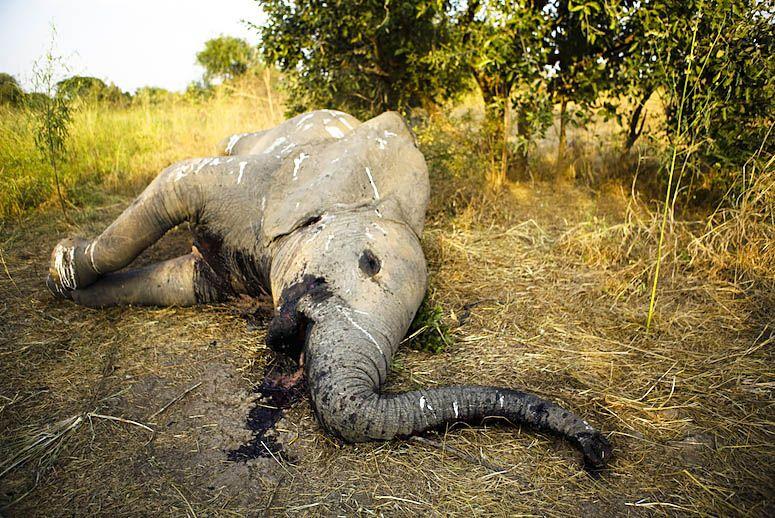 elephant-poaching-MAIN